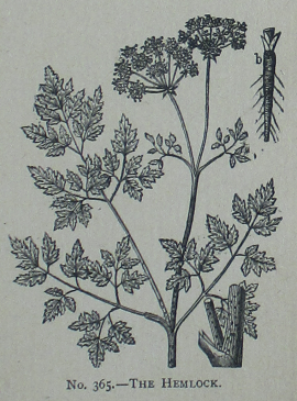 Picture_Natural_History_-_No_365_-_The_Hemlock